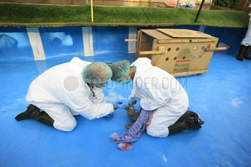 Veterinary examination of a seal at the center of care - France