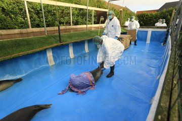 Handling a seal at the clinic before release - France