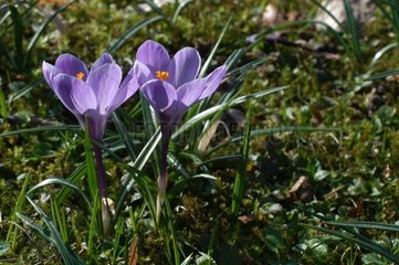 Crocus 'Remembrance' in march