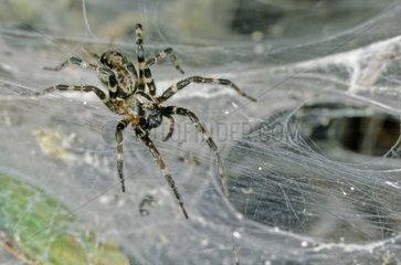 Social spider on the colony web Gabon