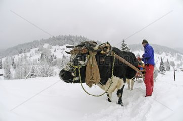 Sledge pulled by an Ox Vosges France