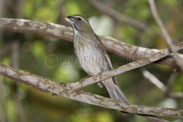 Lesser antillean saltator on a branch St Lucia