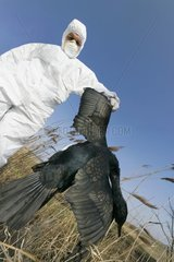 Man of the medical service collecting a dead Cormorant