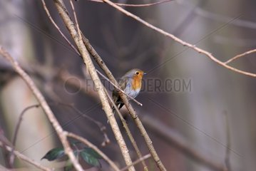 European Robin in the forest of Meudon at winter France
