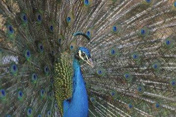 Portrait of Male blue peacock making the wheel