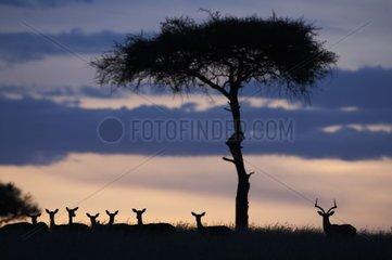 Impalas herd at twilight Masai Mara Kenya