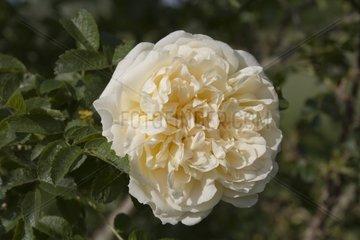 Rose Agnès Le Jardin des Rosiers France