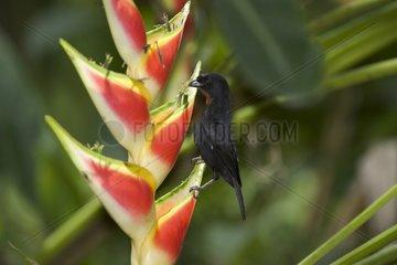 Lesser Antillean Bullfinch male on a flower St Lucia