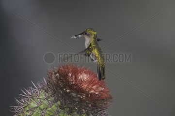 Antillean crested hummingbird flying above a cactus flower