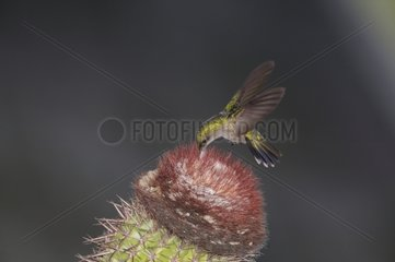 Antillean crested hummingbird eating in a cactus flower