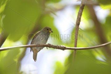 Lesser Antillean Bullfinch on a branch St Lucia