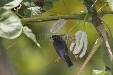 Lesser Antillean Bullfinch male on a branch St Lucia