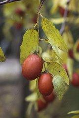 Jujube tree in fruit in a garden