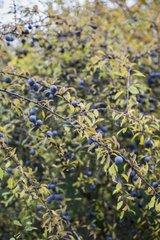 Blackthorn in fruit in a garden in autumn