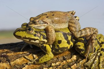 Coupling of Green Frogs France