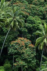 Palm trees and African Tuliptrees in blossom Sulawesi