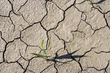Cereal plantlet struggling to lift in cracked earth