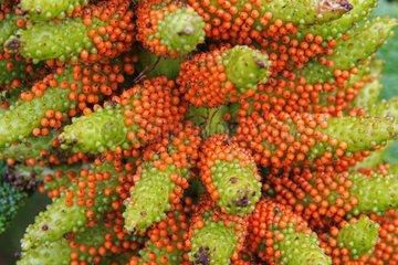 Chilean gunnera in fruit in Chilean Patagonia