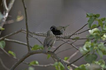 Courtship feeding between Black-faced grassquits