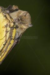 Jamaican fruit-eating bat on a fruit St Lucia