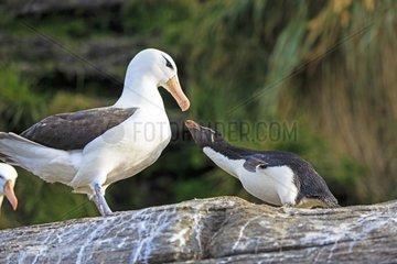 Rockhopper penguin and Black-browded albatros -Falkland Isl.