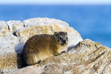 Rock Dassie on rocks - Stony Point South Africa