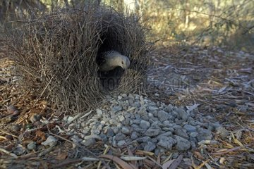Male Great Bowerbird completing its construction Australia