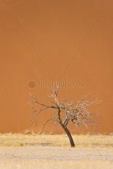 Dead tree in front of Dune 45 - Namib Desert Namibia
