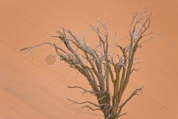Dead tree and sand dune - Namib Desert Namibia