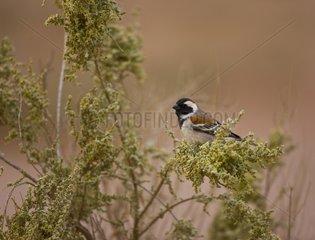 Cape Sparrow on a branch - Namib Desert Namibia