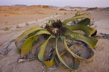 Welwitschia - Namib Desert Namibia