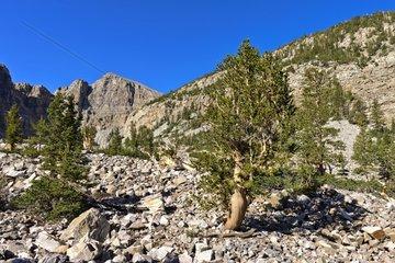 Bristlecone Pines - Wheeler Park Great Basin NP Nevada