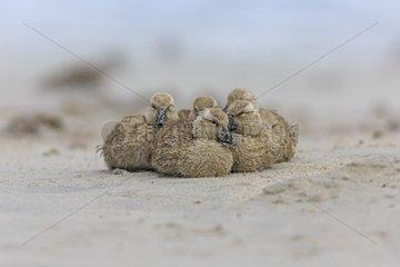 Falkland steamer duck chicks on the sand - Falkland Isl.