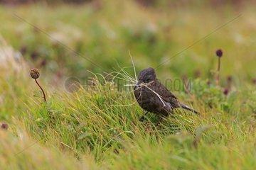 Tussac bird gathering twigs to build his nest -Falkland Isl.