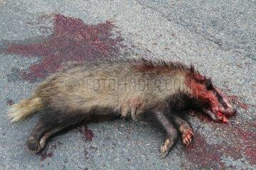 Eurasian badger hit by a car - France