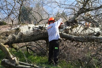 Felling a tree to be planted - France