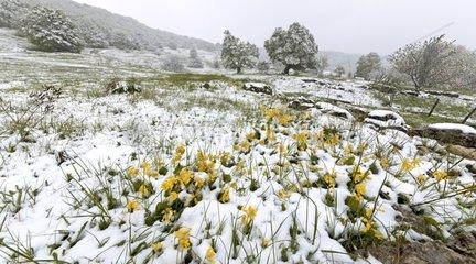 Cowslip primroses under late snow - Haut Bugey Jura France