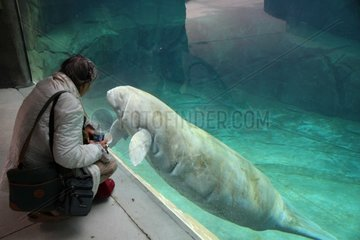 Observer and West Indian Manatee in an aquarium