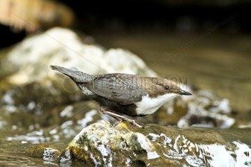 White-throater Dipper on bank - Slovensky Raj NP Slovakia