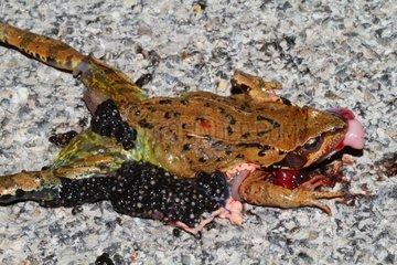 European Frog female crushed - France