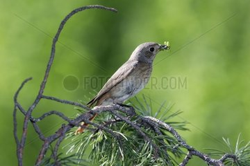 Common Redstart female posed on a branch