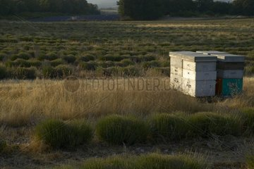 Hive and cut lavender Provence France