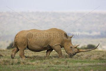 White rhinoceros with very long horn in savana Kenya