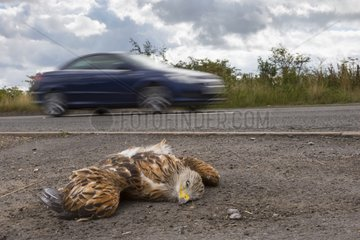 Dead Red Kite by the side of the road in summer - GB