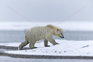 Polar bear outgoing water - Barter Island Alaska