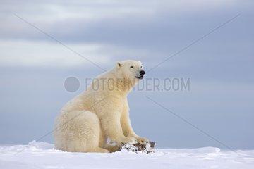 Polar bear sitting in snow - Barter Island Alaska
