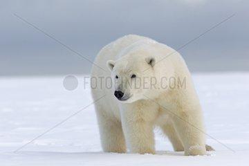 Polar bear in snow - Barter Island Alaska