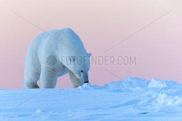 Polar bear walking in snow - Barter Island Alaska