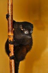 Blue-eyed Black Lemur - Zoo Mulhouse France