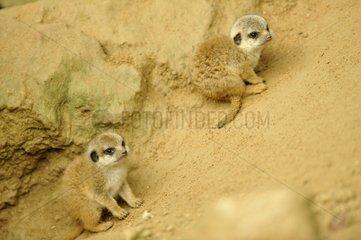 Meerkats - Zoo Mulhouse France